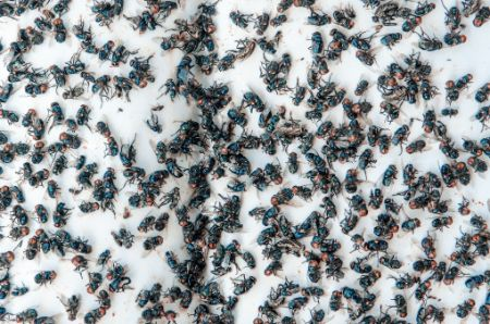 Flies can infest a clean house